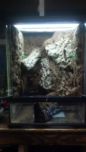 horned mountain dragon vivarium 1